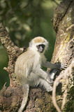Vervit Monkey sitting in tree outside of Lewa Wildlife Conservancy, North Kenya, Africa Stock Image