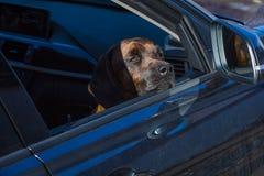 Vervoer van een hond in een auto Stock Afbeeldingen