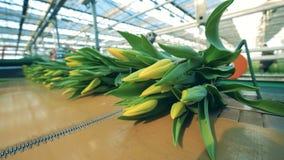 Vervoerder met gele tulpen Bloemeninstallatie, geautomatiseerde machines voor bloemenproductie stock footage