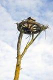 Vervoerwiel op boom voor ooievaarsnest Royalty-vrije Stock Foto
