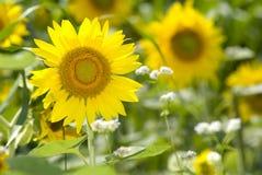 Vervollkommnen Sie Sonnenblume Stockfotos