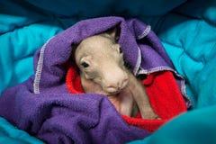 Verwaistes Baby-Wombat Stockfoto