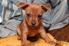 Verward puppy Royalty-vrije Stock Afbeelding