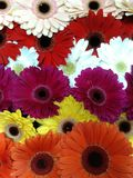 Verwarde abstracte bloemenachtergrond van multicolored gerberas royalty-vrije stock afbeelding