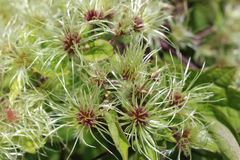 Verwarde bloesems van Maagdelijke het prieel Amerikaanse wildflower van ` s royalty-vrije stock afbeelding