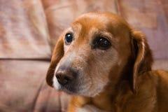 Verwarde gouden hond die op de laag legt Stock Afbeeldingen