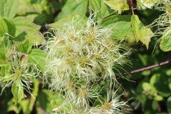 Verwarde knoop van Maagdelijke het prieel Amerikaanse wildflower van ` s royalty-vrije stock foto