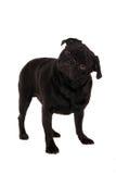 Verwarde pug Royalty-vrije Stock Foto