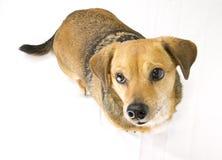 In verwarring gebrachte hond Royalty-vrije Stock Fotografie