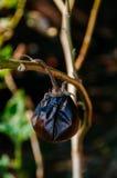 Verwelk aubergine Royalty-vrije Stock Afbeeldingen