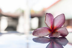 Verwelken rosa Frangipaniblume stockbild