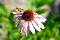 Verwelkende bloem Royalty-vrije Stock Foto's