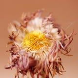 Verwelkende bloem Stock Foto's