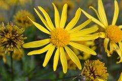 Verwelkende gelbe Blume Stockfotografie
