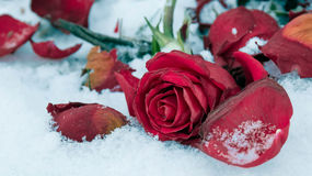 Verwelkende Rotrose auf weißem Schnee Stockfotos