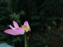 Verwelkende und fallende Wasser-Lilie Lizenzfreies Stockfoto