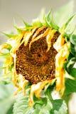 Verwelkende zonnebloem Stock Afbeeldingen