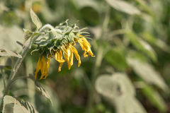 Verwelkende zonnebloem Stock Foto's