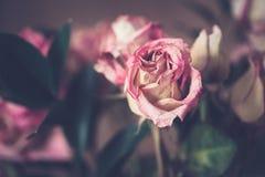 Verwelkte alte rosa gelbe Blumen der roten Rosen Stockbild
