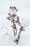 Verwelkte Anlage im Schnee Stockfotos