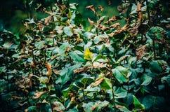 Verwelkte Blätter auf dem Busch Stockbild