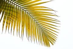 Verwelkte Blätter der Palme Stockfotos