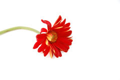 Verwelkte Blume Lizenzfreies Stockbild