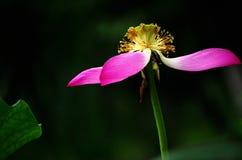 Verwelkte Blumen von Lotos Lizenzfreies Stockbild