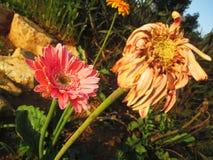 Verwelkte Gerbera-Gänseblümchenblumen Stockfoto