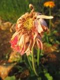 Verwelkte Gerbera-Gänseblümchenblumen Stockfotos