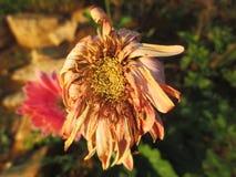 Verwelkte Gerbera-Gänseblümchenblumen Lizenzfreie Stockfotos