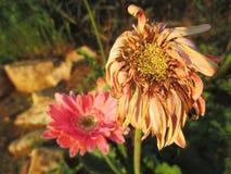 Verwelkte Gerbera-Gänseblümchenblumen Stockbilder