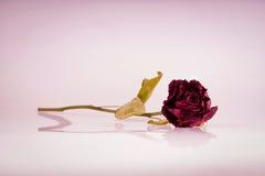 Verwelkte rosafarbene Blume Lizenzfreies Stockbild