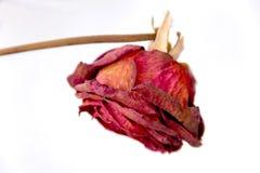 Verwelkte Rosen Stockbilder