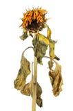 Verwelkte Sonnenblume Stockfoto