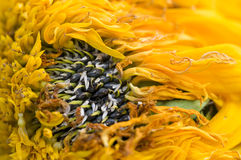 Verwelkte Sonnenblumeblumenblätter stockfoto