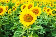 Verwelkte Sonnenblumen Stockfotos