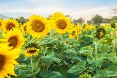 Verwelkte Sonnenblumen Lizenzfreie Stockfotos