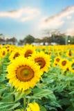 Verwelkte Sonnenblumen Lizenzfreies Stockbild
