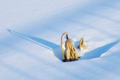 Verwelkte und gelbe Lotosblätter im Schnee Stockfotos