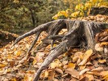 Verwelkte Wurzel eines geschnittenen Baums lizenzfreies stockfoto