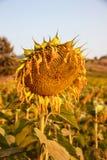 Verwelkte zonnebloem Stock Foto's