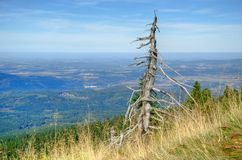 Verwelkter Baum Stockfoto