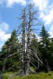 Verwelkter Baum Stockbilder