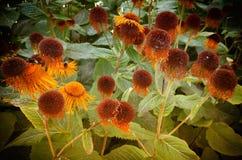 Verwelkter Echinacea Lizenzfreies Stockfoto