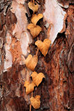 Verwelkter Efeu auf einem Baum Stockfotos