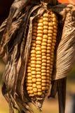 Verwelkter Maiskolben Getrocknetes Gem?se? bildet das Kochen einfach Landwirtschaftlicher Bauernhof Frische Maisnahaufnahme stockbild