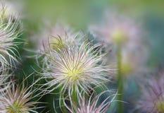 Verwelktes pasqueflower Stockbild
