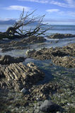 Verwelktes totes Holz auf Kalksteinküste Lizenzfreie Stockbilder