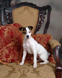 Verwend Puppy Stock Foto